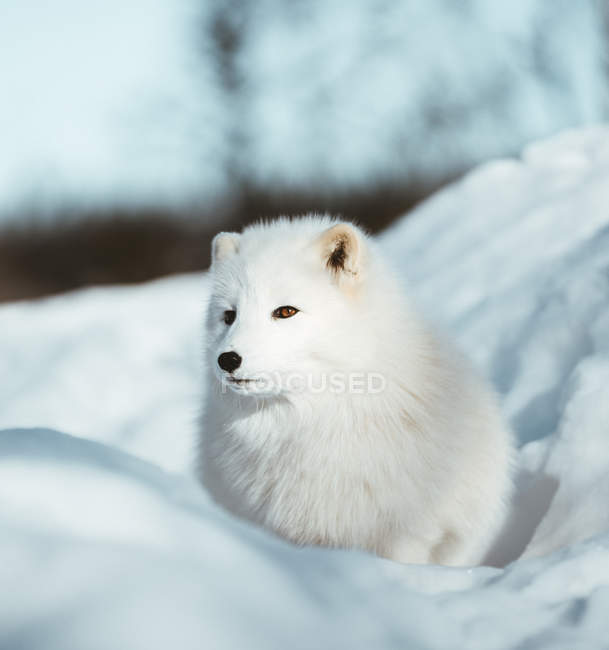 Adorable furry white dog sitting in snow — Stock Photo