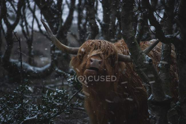 Large brown furry wild bull in winter forest — Photo de stock