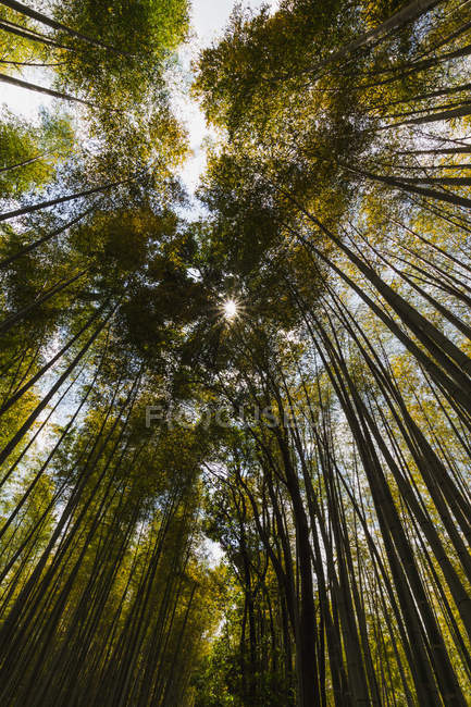 Bottom view of beautiful tall green trees growing in forest at sunny day — стокове фото