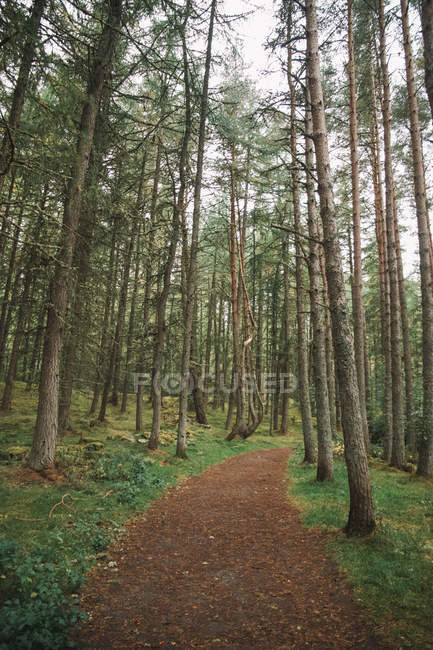 Path through tall pines in beautiful forest — стоковое фото