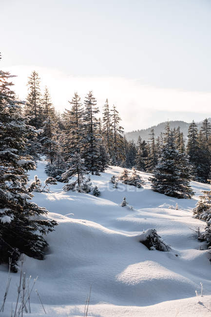 Beautiful landscape with pine trees in deep snow at winter day — Fotografia de Stock