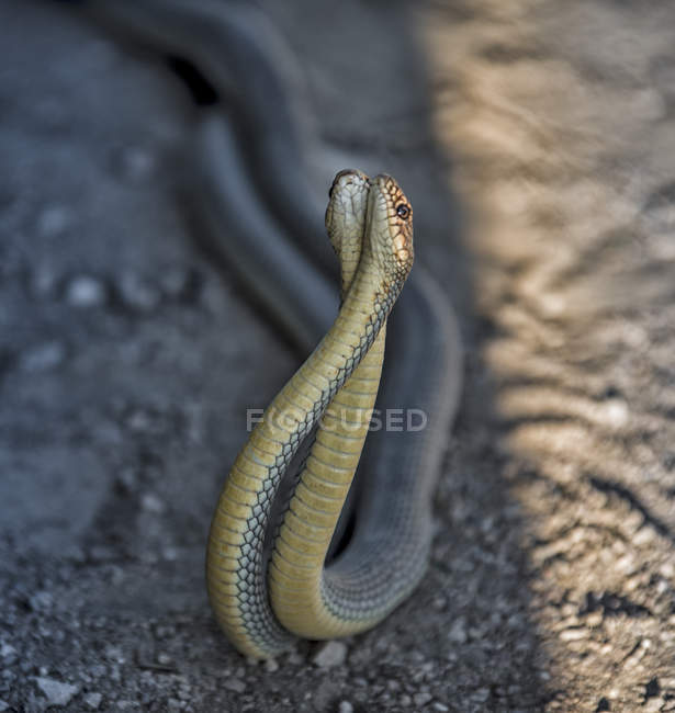 Close-up view of two gray poisonous snakes in wildlife, selective focus — Stockfoto