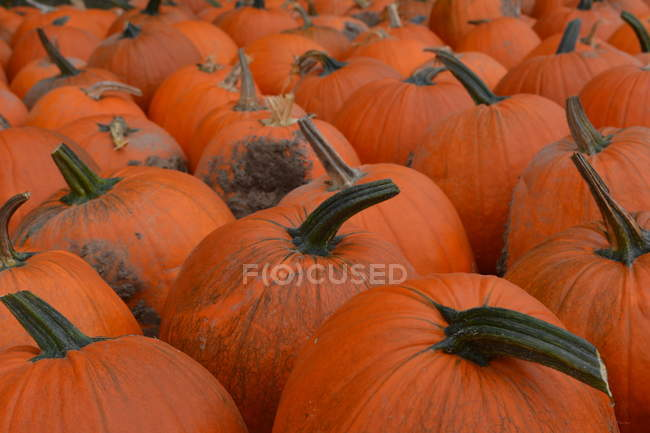 Close-up view of fresh ripe orange pumpkins in autumn — стокове фото