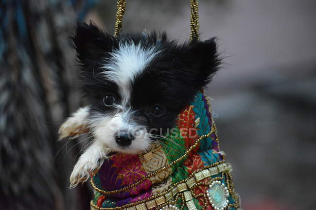 Close-up view of adorable black and white puppy in colorful beaded purse — стокове фото