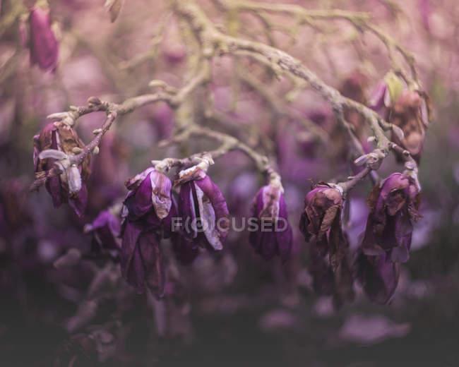 Крупний план перегляду сухих фіолетових квітів на філіях, селективний фокус — стокове фото