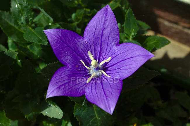 Close-up view of beautiful purple flower with green leaves growing in garden — стокове фото