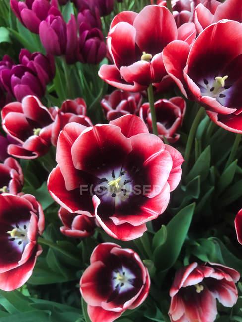 Крупным планом вид красивых красных тюльпанов, растущих в саду — стоковое фото