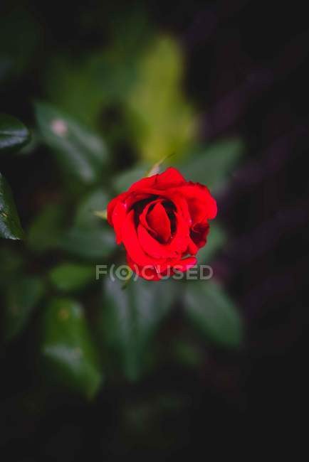 Top view of beautiful red rose flower, selective focus — Stockfoto