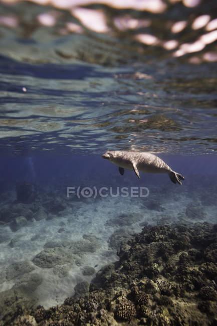 Vista lateral da natação cinzenta bonita do selo subaquática — Fotografia de Stock