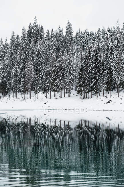 Beautiful snow covered fir trees reflected in lake at winter day - foto de stock