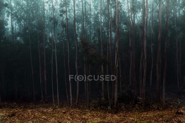 Alberi nella foresta scura a giorno d'autunno nebbioso — Foto stock