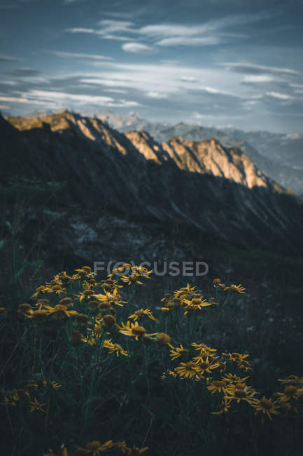 Close-up view of beautiful yellow flowers and scenic mountains at sunlight — Stock Photo