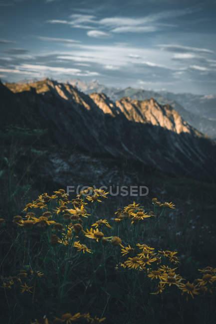 Крупний план зору красивих жовтих квітів і мальовничих гір при сонячному світлі — стокове фото