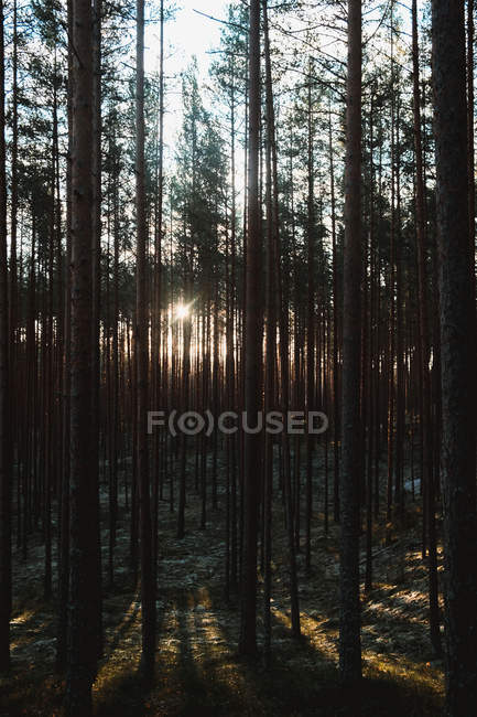 Sun shining through tall trees in forest in the morning — Foto stock