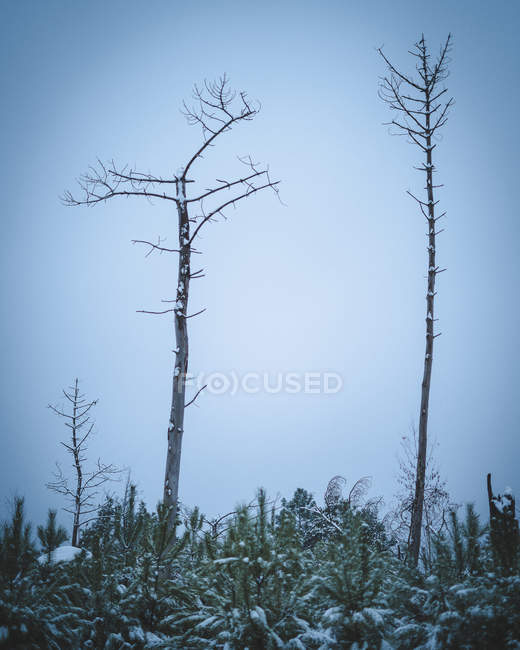 Tall bare trees and snow-covered firs in forest at winter — Stock Photo