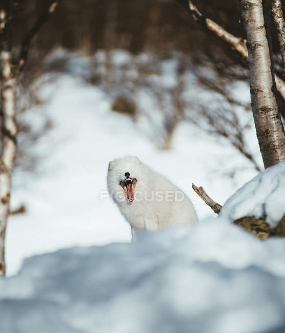 Beautiful white furry snow fox with tongue in wide-open mouth in wildlife — Photo de stock