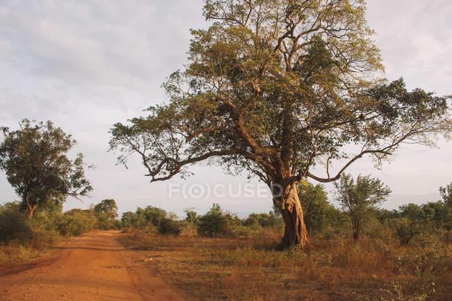 Beautiful green trees growing beside pathway in savanna — Foto stock