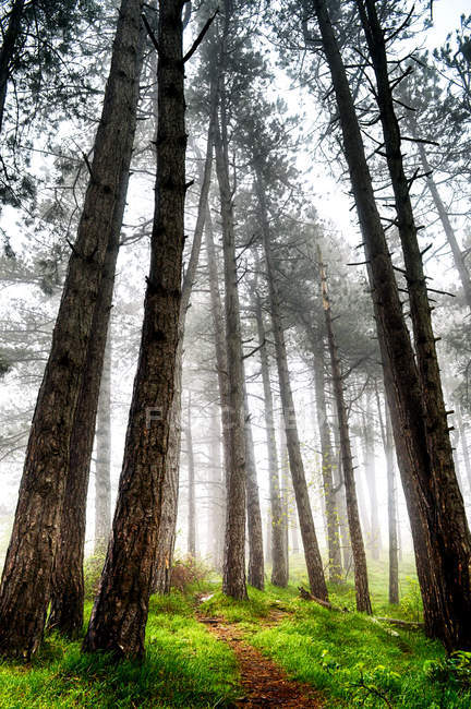 Low angle view of beautiful tall trees in forest in mist — Foto stock