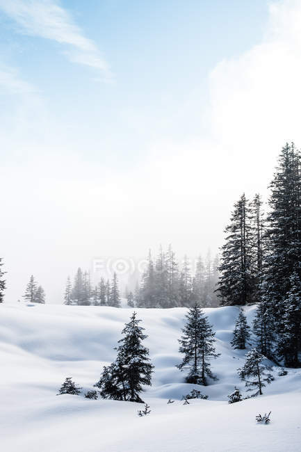Beautiful snow-covered evergreen trees in winter forest — Stock Photo