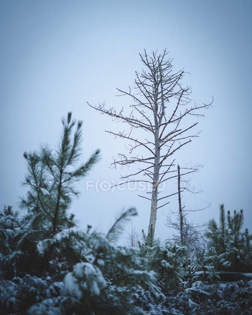 Low angle view of beautiful snow-covered trees at cloudy winter day — Stock Photo
