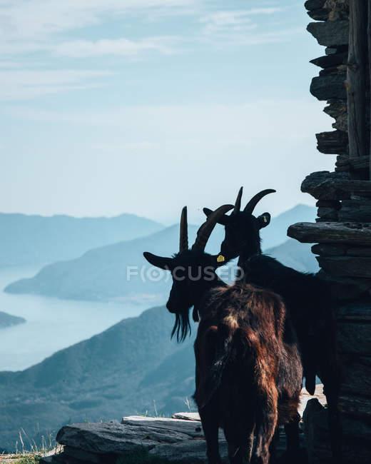 Duas cabras pretas que estão no monte, paisagem surpreendente da montanha — Fotografia de Stock