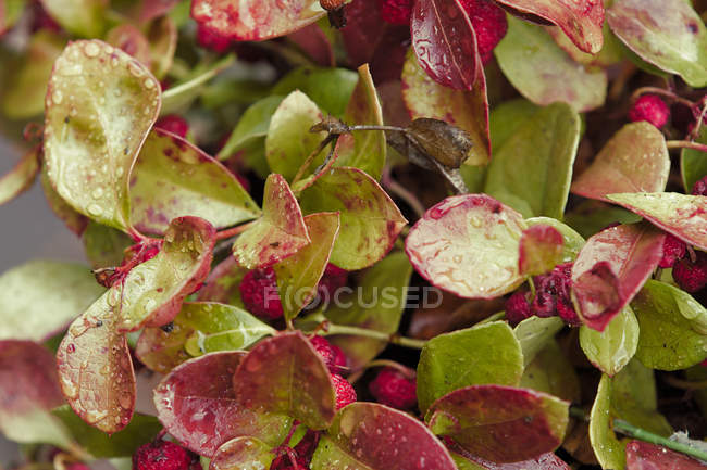 Close-up view of water drops on red and green leaves — Foto stock