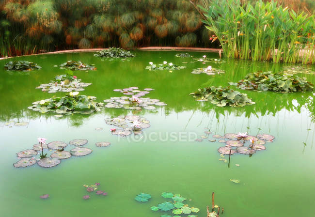 Calm pond with green vegetation and water lily flowers — Foto stock