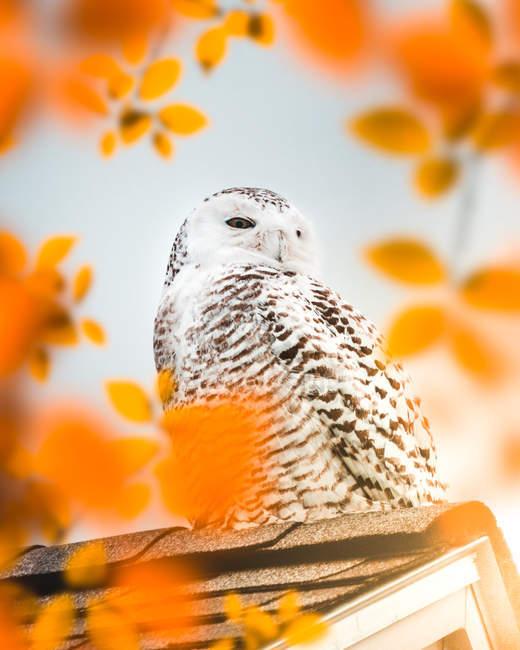 Búho de nieve blanco y marrón en la casa de aves durante el día - foto de stock