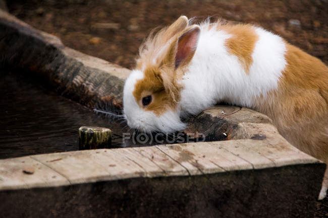 White and brown hare drinking water on log — стоковое фото