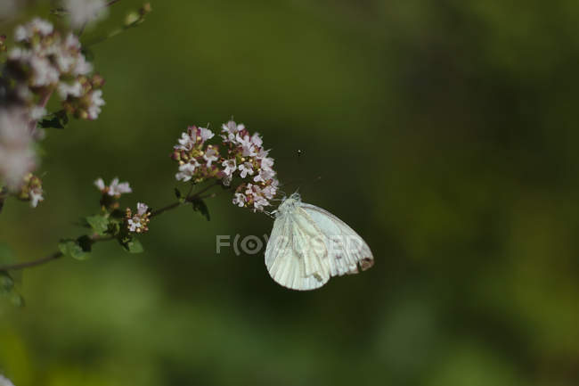 Vue de plan rapproché de papillon blanc sur de belles petites fleurs sauvages pourpres — Photo de stock
