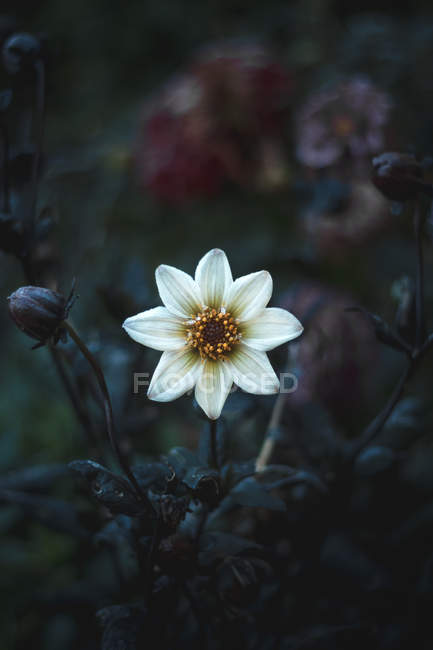Close-up view of beautiful white anemone flower, leaves and buds growing outdoor — стокове фото