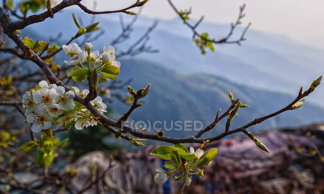 Vista ravvicinata di fiori bianchi che sbocciano su ramoscelli d'albero e paesaggio montano incredibile — Foto stock