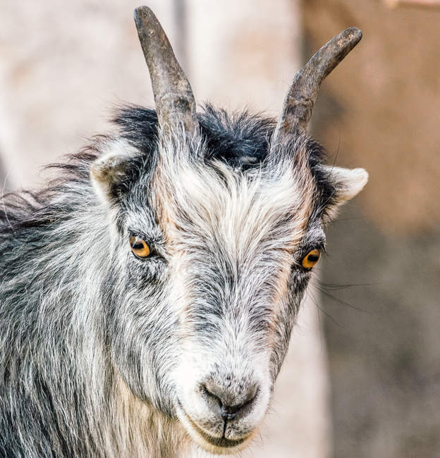 Close-up view of cute wild goat standing near tree and looking at camera — Stock Photo