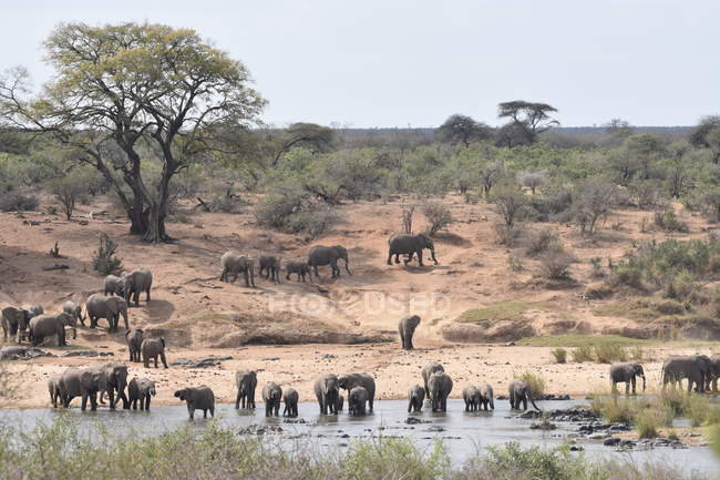 Incredibile vista naturale con maestosi elefanti vicino waterhole in savana — Foto stock