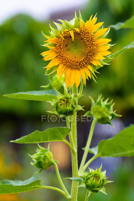 Close-up view of beautiful yellow sunflower with green buds and leaves — Stock Photo