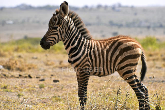 Side view of cute zebra standing in profile in savanna — Fotografia de Stock