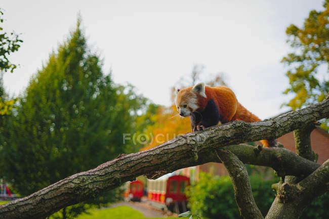Vue bas d'angle du renard rouge poilu mignon sur l'arbre pendant la journée — Photo de stock