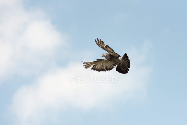 Low angle view of beautiful bald eagle bird flying in blue sky - foto de stock
