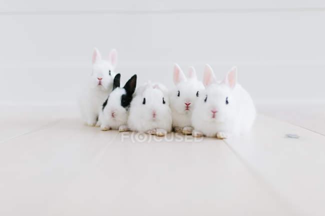 Симпатичні пухнастий Білі кролики на білому поверсі, крупним планом вид — стокове фото