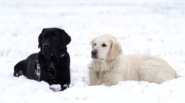 Cute furry white and black dogs resting on snow — Photo de stock