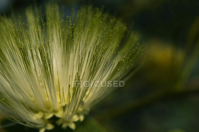 Close-up view of beautiful green flowering plant with pollen, selective focus — Stockfoto
