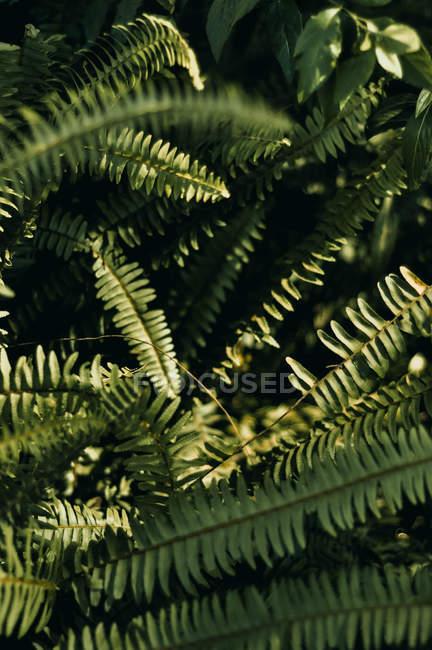 Крупным планом вид красивых зеленых листьев на папоротника растений — стоковое фото