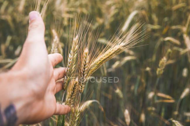 Abgeschnittene Aufnahme von menschlicher Hand berühren Weizengras — Stockfoto