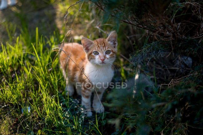 Close-up view of adorable kitten standing on grass and looking at camera — Stock Photo