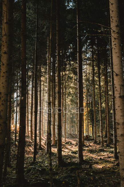 Sunlight shining through tall trees in scenic forest - foto de stock