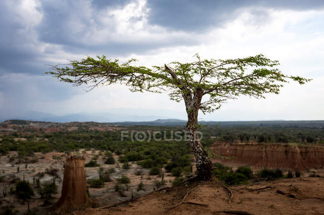 One long wide tree on hill at cloudy day - foto de stock