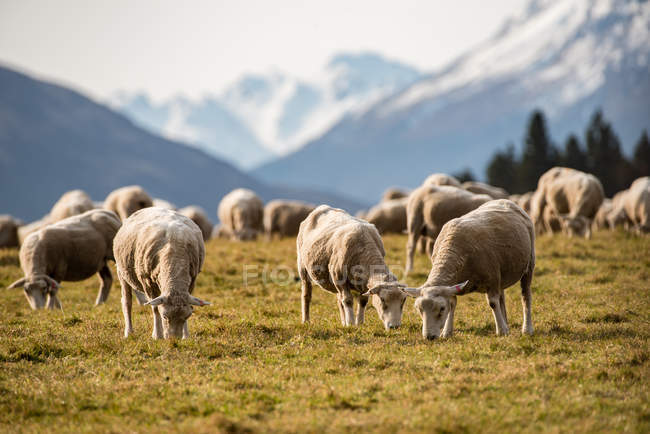 Herd of sheep grazing on grassy meadow in scenic mountains — Photo de stock