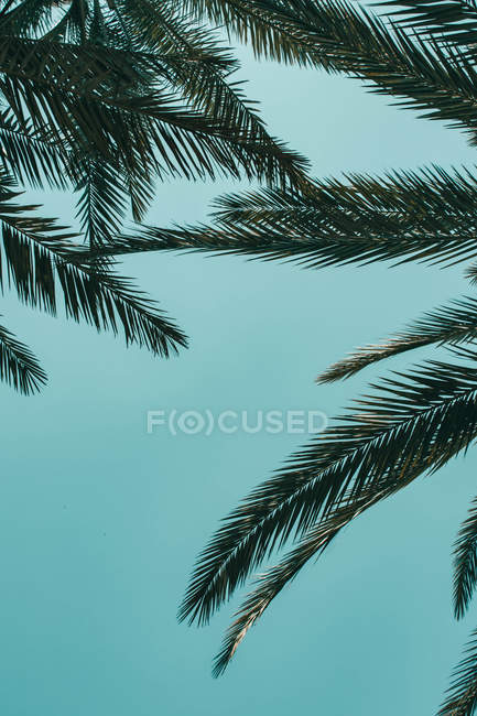 Low angle view of green leaves of palm trees against blue sky — Photo de stock