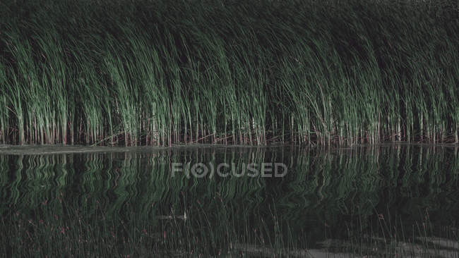 Beautiful view of green long grass reflected in calm water — Stock Photo