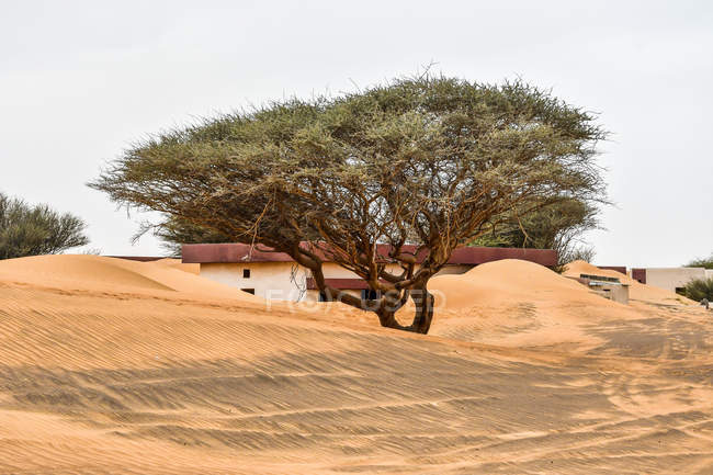 Beautiful big green trees near building in sand dunes — Photo de stock